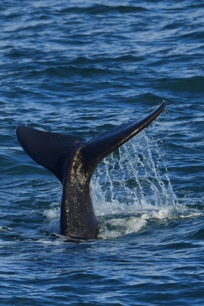 Southern Right Whales, Penguins and Sea Birds (1)