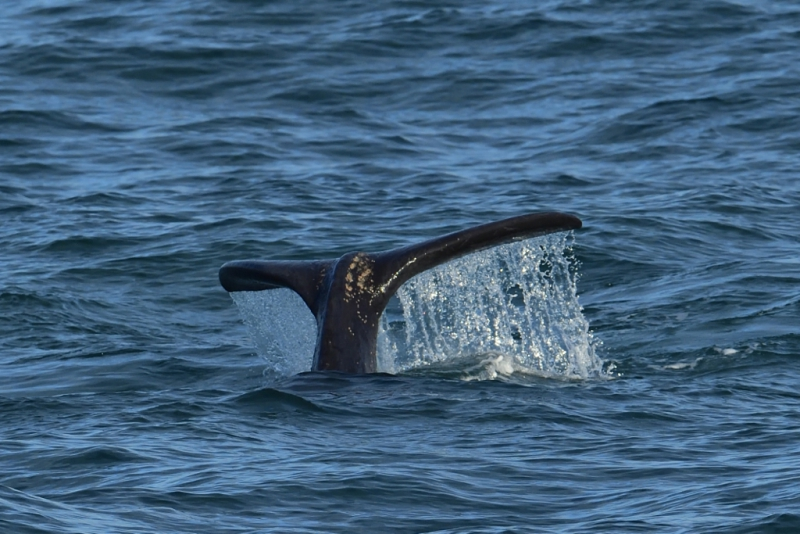 Southern Right Whales, Penguins and Sea Birds (15)