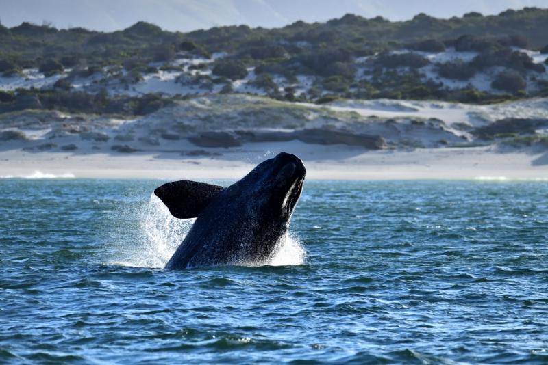 Southern Right Whales, Penguins and Sea Birds (5)