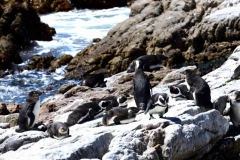 Southern Right Whales, Penguins and Sea Birds (11)