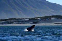 Southern Right Whales, Penguins and Sea Birds (4)
