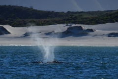 Southern Right Whales, Penguins and Sea Birds (6)
