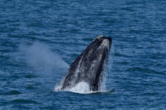 Southern Right Whales, Penguins and Sea Birds (8)